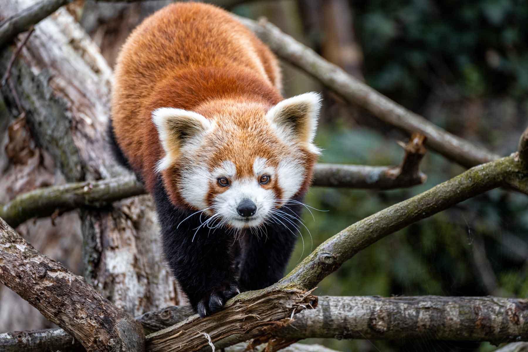 mláďata pandy červené v Zoo Praha