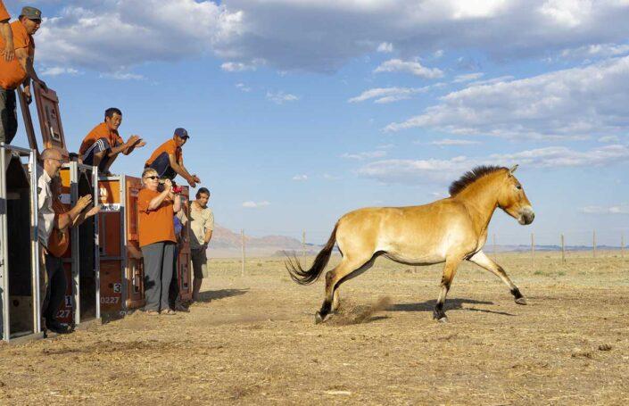 Záchrana koně Převalského